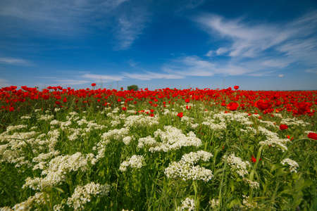 Wide meadow with rep poppies and white prairie flowers