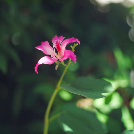 Purpurea flower blooming with green leaves in the garden on Bali, Butterfly Tree, Orchid Tree, Purple Bauhinia.  Banque d'images