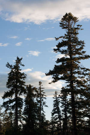 ponderosa: Ponderosa pines stand tall in front of a clouded blue sky Stock Photo