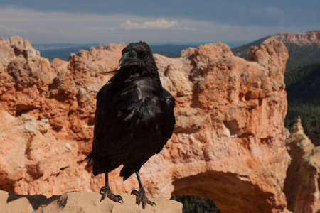 corax: A wind-blown raven poses in front of Natural Bridge in Bryce Canyon National Park, Utah Stock Photo