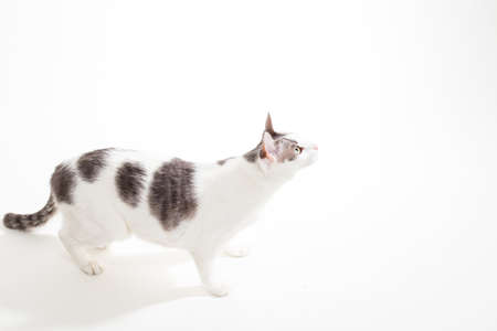 housecat: Curious Gray and White Short-Hair Domestic Cat on White Stock Photo
