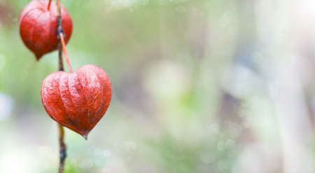 alkekengi: Bokeh nature background of inflorescence Physalis alkekengi (Chinese Lantern) Stock Photo