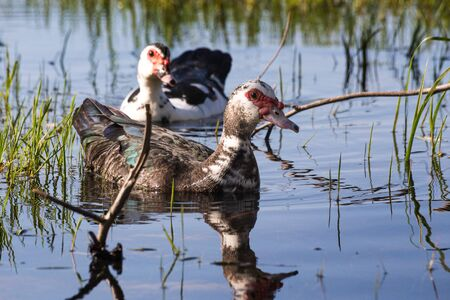 muscovy duck: Couple of Muscovy duck in wild Stock Photo