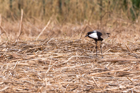 lapwing: Spur-winged lapwing.