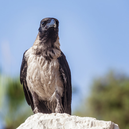 crow: Crow sitting on the stone on the blurred blue sky background. Soft focus put on the head of bird. Crow looks at the camera.