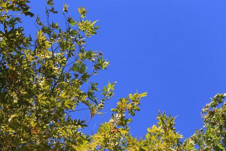 sicomoro: Cielo blu con foglie verdi di sicomoro sfondo.
