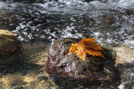 banias: Autumn. Sycamore leae on the stone in running water. Stream hermon (Banias) Israel.