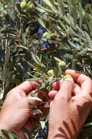 israel farming: Hands of a young man harvest olives, Israel, Middle East. Small DoF, soft focus.