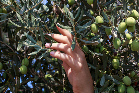israel farming: Hands of a young woman harvest olives, Israel, Middle East. Small DoF, focused on hand.