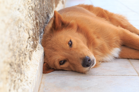 near: Portrait of a foxy-ginger dog lying near the wall.