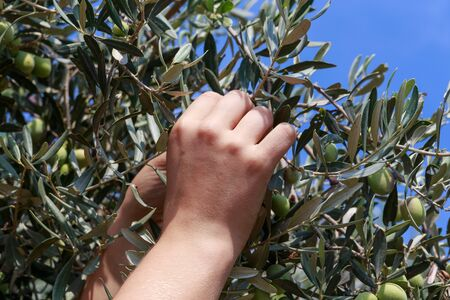 israel farming: Hands of a young woman harvest olives, Israel, Middle East. Focused on hand.