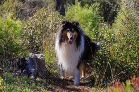 forest path: Black collie dog on the forest path looking toward. Stock Photo