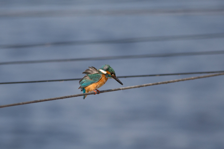 fisher: Small colorful bird, King Fisher, sitting. Waiting for fish. Stock Photo