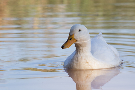 domestic animals: Swimmming white domesticated duck in nature. Wild bird closeup portrait.