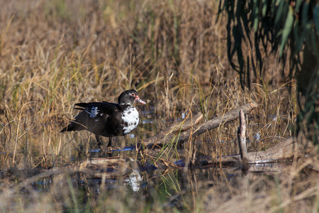 swimming bird: Muscovy duck cleaning himself on the lake.