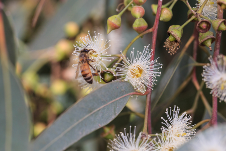 Bees are collecting eucalyptus nectar (honey). Summer time, eucalyptus flowers. Macro. Small DoF set on bee.