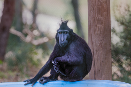 celebes: Crested macaque portrait. Crested macaque sitting and looking toward. Monkey park, israel, middle east.