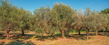 Olive Tree italienne Banque d'images