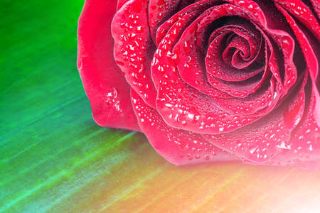 Red Rose Close Up with green background Stock Photo
