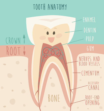 cementum: tooth anatomy funny tooth concept of healthy teeth vector illustration flat design Illustration