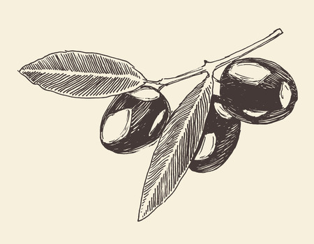 olive branch olive tree branches vintage illustration engraved retro style hand drawn sketch