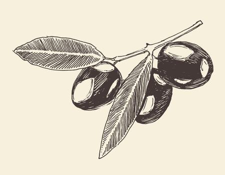 ramas de los árboles de oliva rama de olivo cosecha ilustración grabada boceto dibujado a mano de estilo retro