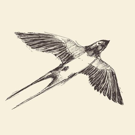 swallow bird: Swallow bird hand drawn vintage engraved illustration, sketch