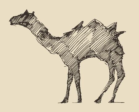 camello: Camel, ilustración, grabado dibujado a mano vector boceto Vectores