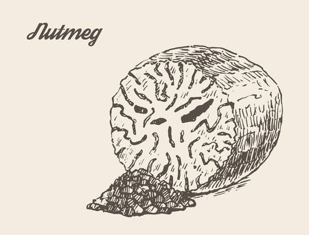 nutmeg: Nutmeg isolated on background vintage vector illustration hand drawn engraved style sketch Illustration