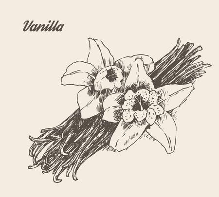 flor de vainilla: Ilustraci�n vectorial grabado boceto dibujado a mano Vainas de la vainilla y flor de la vendimia