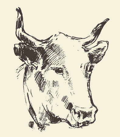 domestic cattle: Cow head with bell dutch cattle breed vintage illustration engraved retro style hand drawn sketch