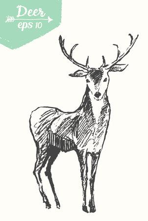 cuernos: Bosquejo de un ciervo, ilustración de la vendimia, a mano, bosquejo Vectores
