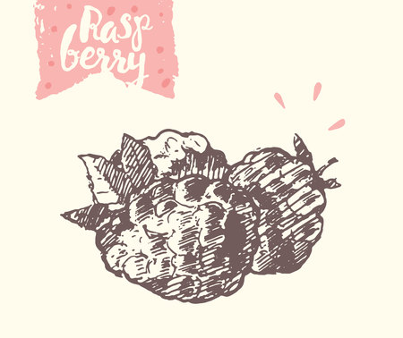 sketch: raspberry, illustration, sketch draw