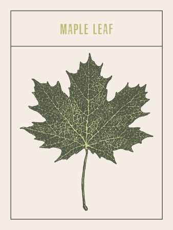 calgary: High detailed vector maple leaf drawn sketch