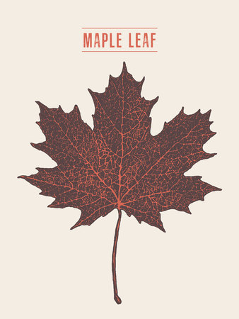 calgary: High detailed vector maple leaf drawn sketch.