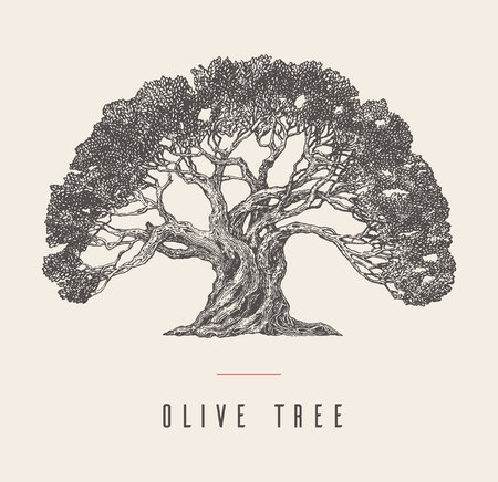 Hand drawn vector illustration of olive tree Vintage label for olive oil