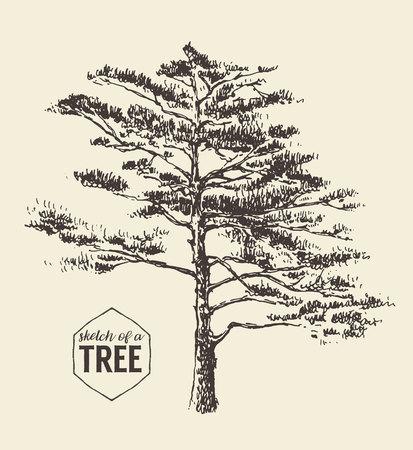 Pine tree vintage illustration drawn, sketch Vektorové ilustrace
