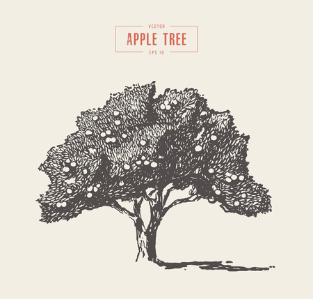 High detail vintage illustration of an apple tree, hand drawn, vector