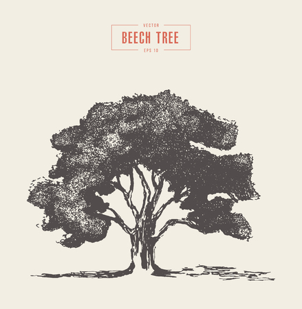 High detail vintage illustration of a beech tree, hand drawn, vector