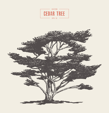 High detail vintage illustration of a cedar tree, hand drawn, vector Ilustração