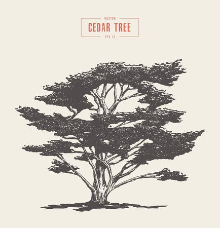 Hoge detail vintage illustratie van een cederboom, met de hand getekend, vector