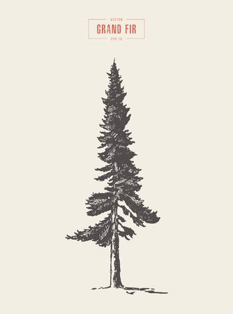 High detail vintage grand fir tree, drawn, vector