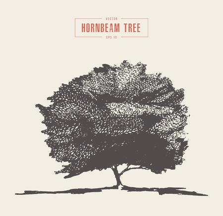 Vintage hornbeam tree hand drawn vector sketch