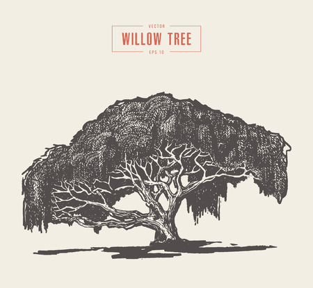 High detail vintage illustration of a willow tree, hand drawn, vector