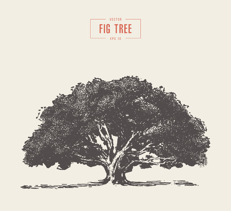 High detail vintage illustration of a fig tree, hand drawn, vector 写真素材 - 110506622