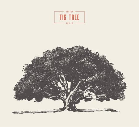 Wysokiej szczegółowo rocznika ilustracja drzewa figowego, ręcznie rysowane, wektor