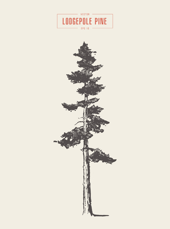High detail vintage illustration of a lodgepole pine, hand drawn, vector