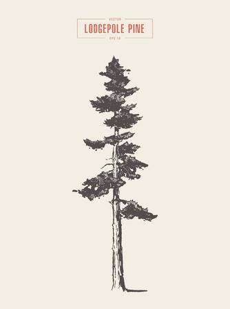 Hoge detail vintage illustratie van een lodgepole-pijnboom, hand getrokken, vector Vector Illustratie