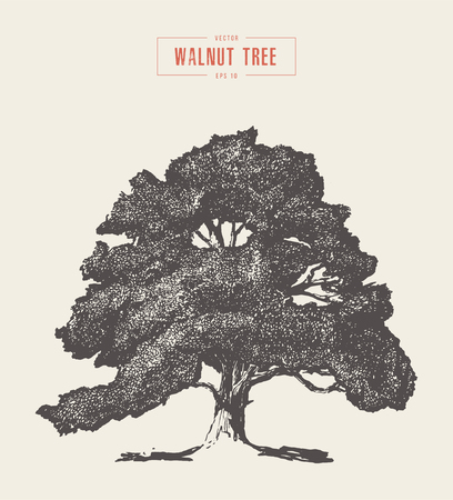 High detail vintage illustration of a walnut tree, hand drawn, vector