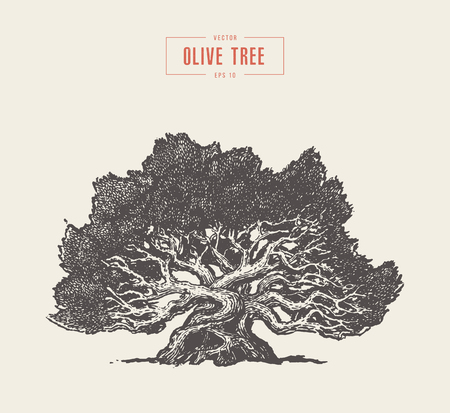 High detail olive tree, hand drawn, vector